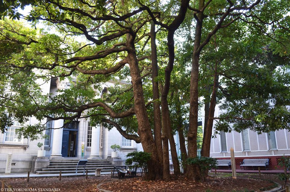 【YOKOHAMA SNAP】横浜開港資料館 たまくすの木_THE YOKOHAMA STANDARD