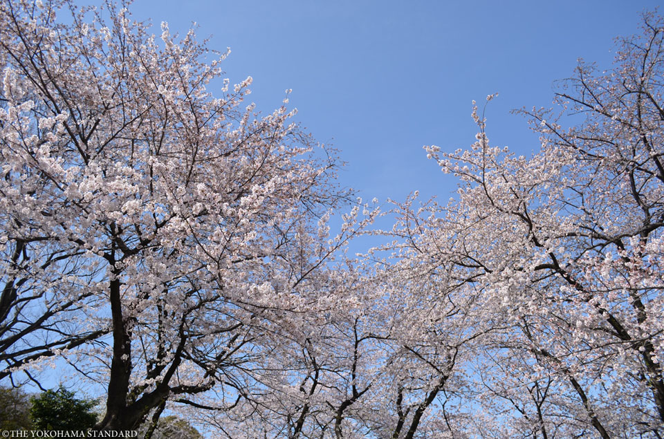 掃部山公園の桜5-THE YOKOHAMA STANDARD