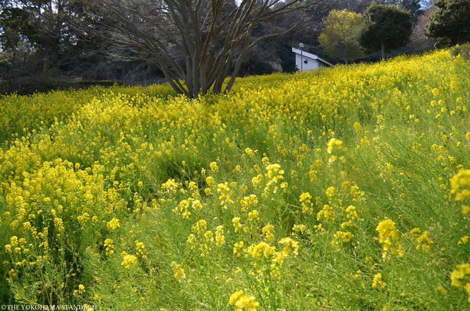 金沢自然公園の菜の花-THE YOKOHAMA STANDARD