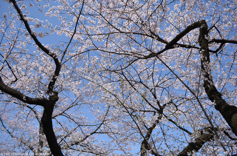 掃部山公園の桜1-THE YOKOHAMA STANDARD