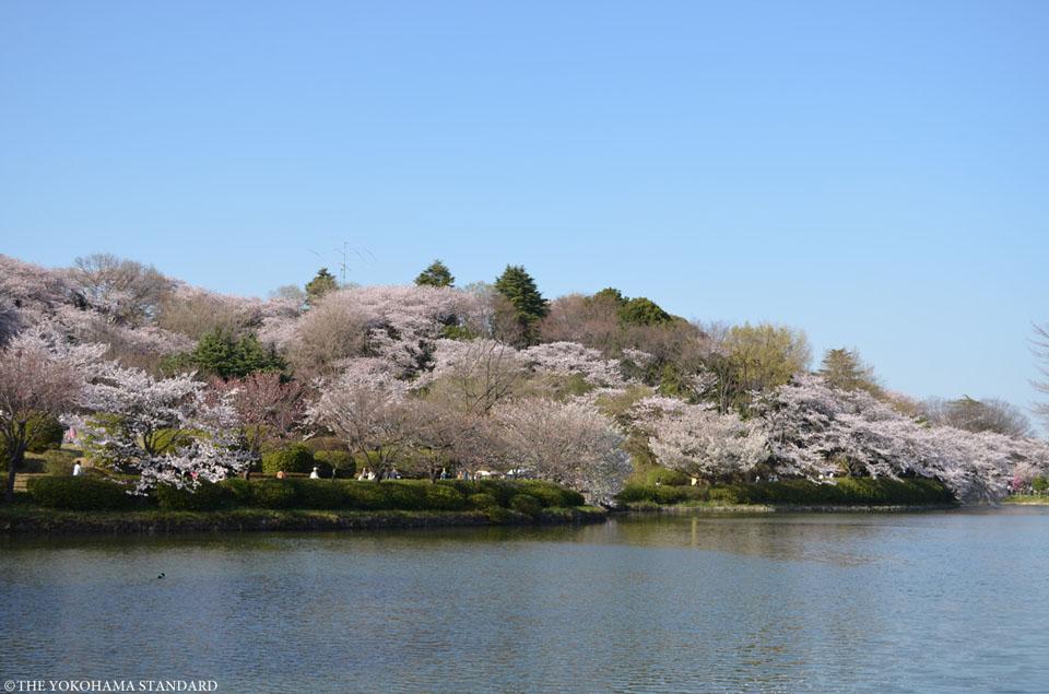 三ツ池公園の桜3-THE YOKOHAMA STANDARD