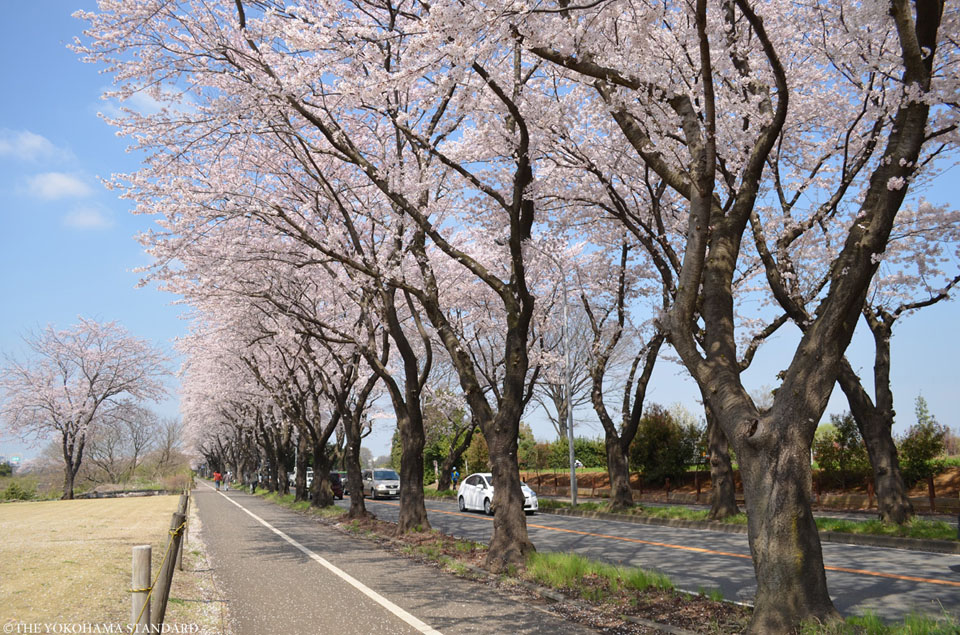 海軍道路の桜1-THE YOKOHAMA STANDARD