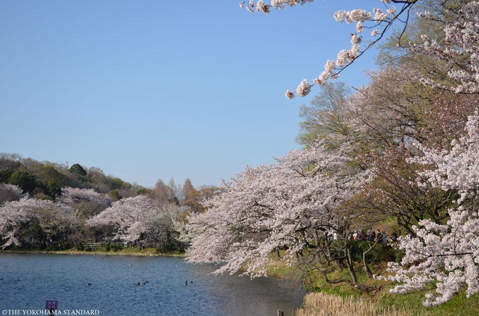 三ツ池公園の桜2-THE YOKOHAMA STANDARD