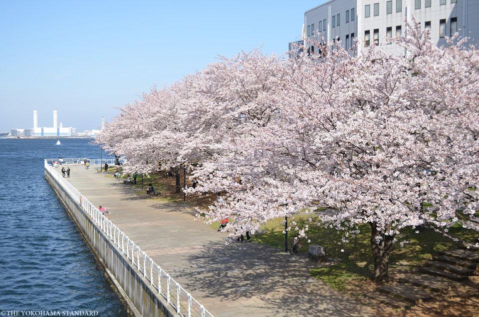 カップヌードルミュージアムパークの桜-THE YOKOHAMA STANDARD