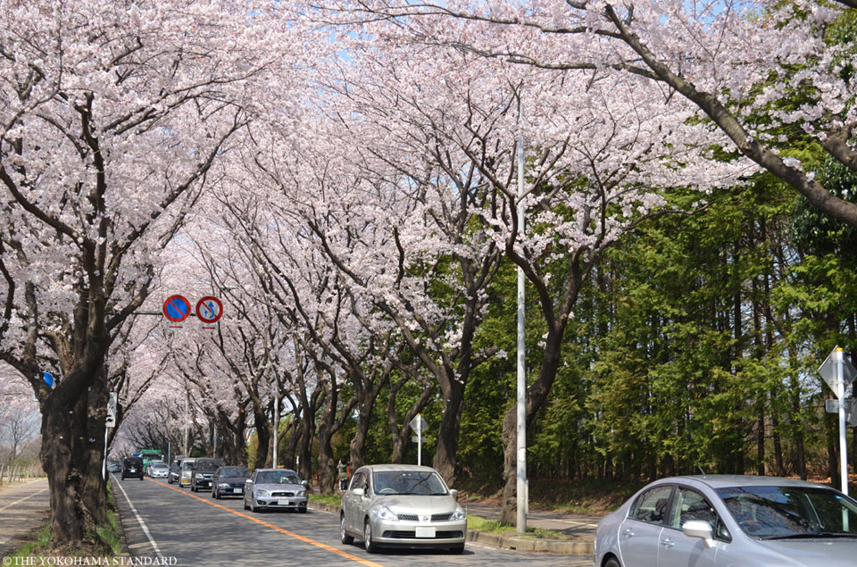 海軍道路の桜2-THE YOKOHAMA STANDARD