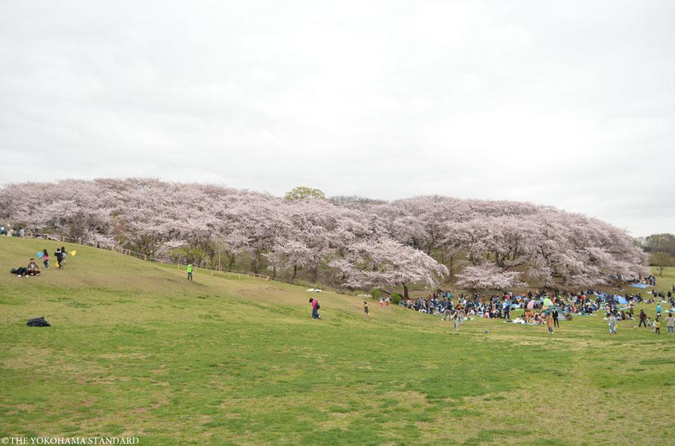 根岸森林公園の桜3-THE YOKOHAMA STANDARD