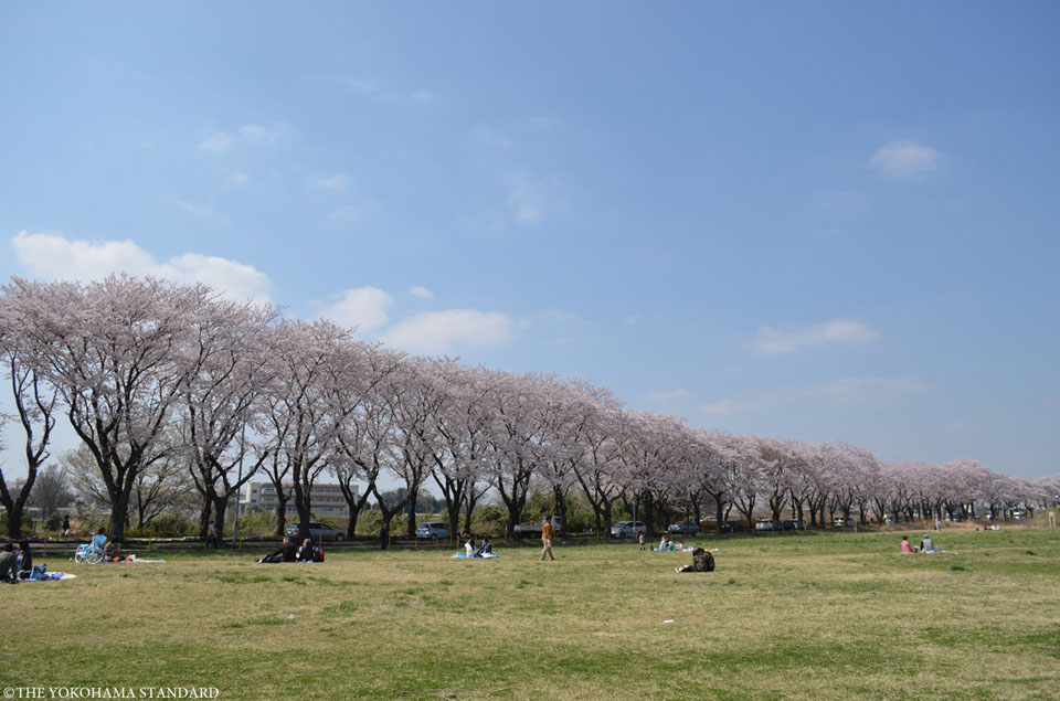 海軍道路の桜3-THE YOKOHAMA STANDARD