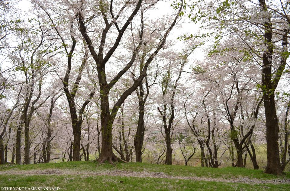 根岸森林公園の桜1-THE YOKOHAMA STANDARD