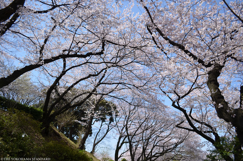 掃部山公園の桜2-THE YOKOHAMA STANDARD