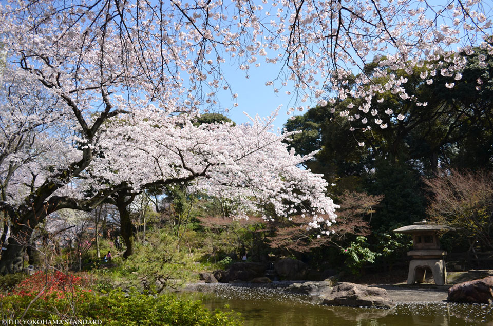 掃部山公園の桜3-THE YOKOHAMA STANDARD