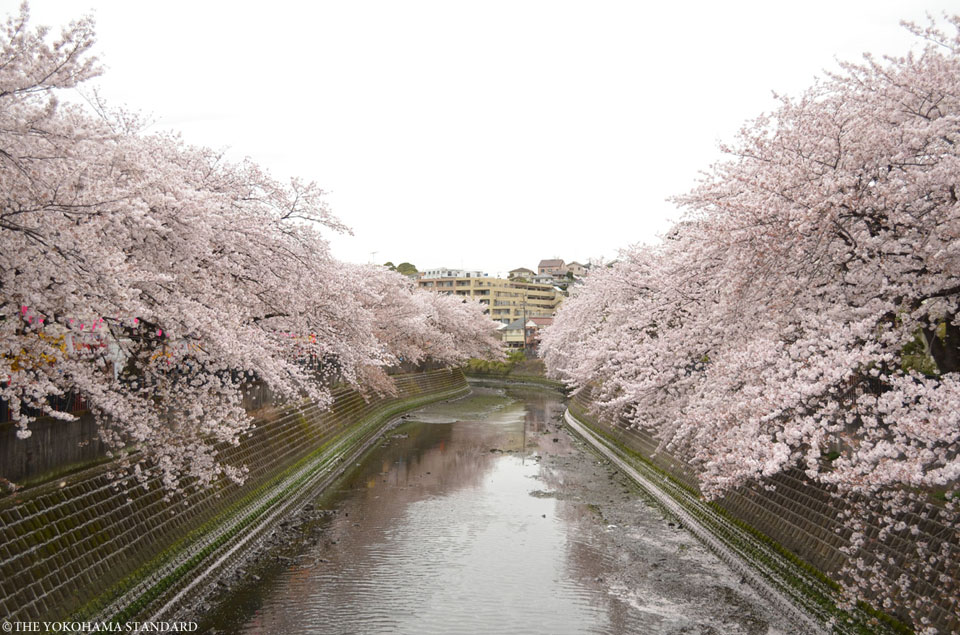 大岡川の桜2-THE YOKOHAMA STANDARD