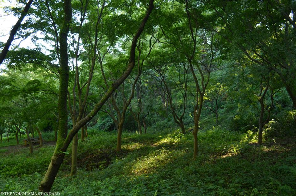 寺家ふるさとの森モミの名木2-THE YOKOHAMA STANDARD
