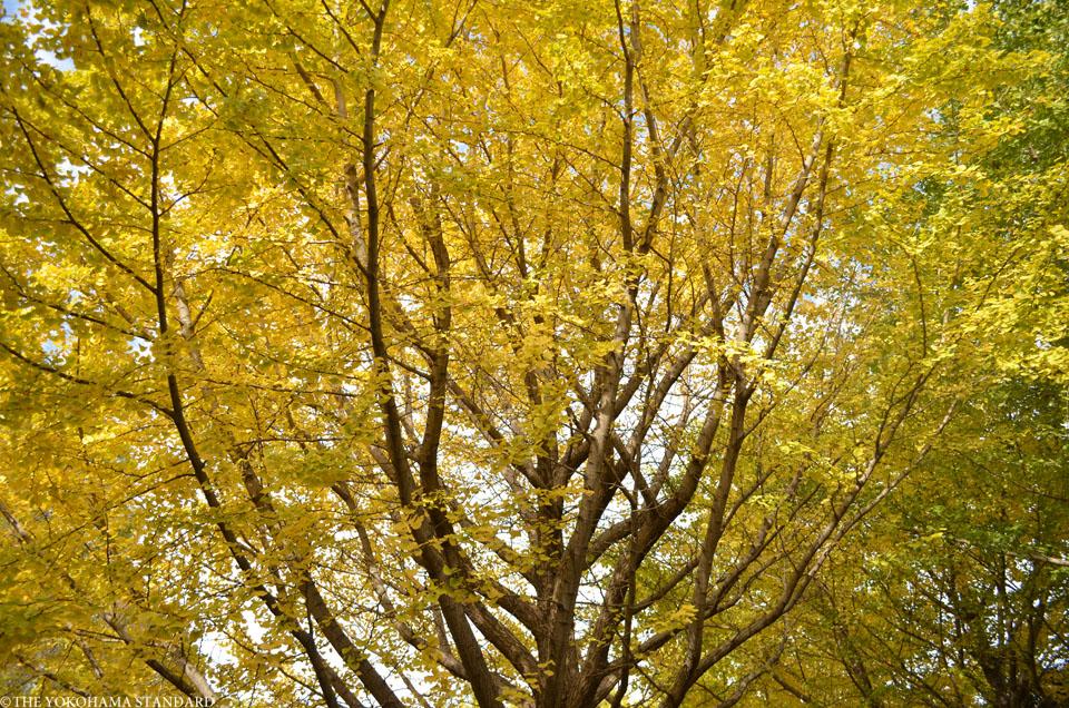 秋の金沢自然公園8-THE YOKOHAMA STANDARDブラフ