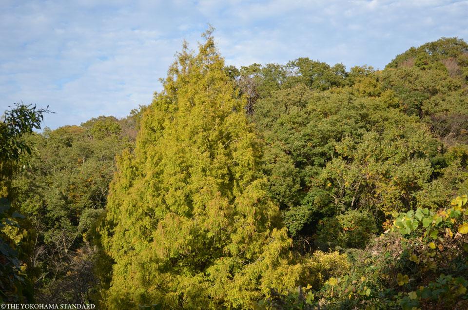 紅葉2015横浜自然観察の森4-THE YOKOHAMA STANDARD