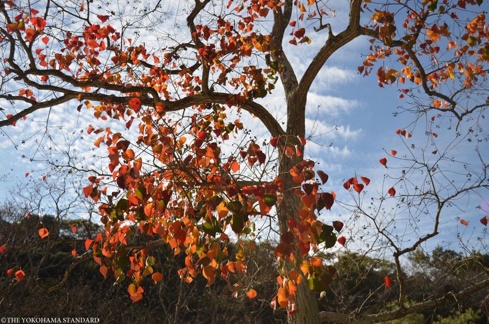 秋の金沢自然公園14-THE YOKOHAMA STANDARDブラフ
