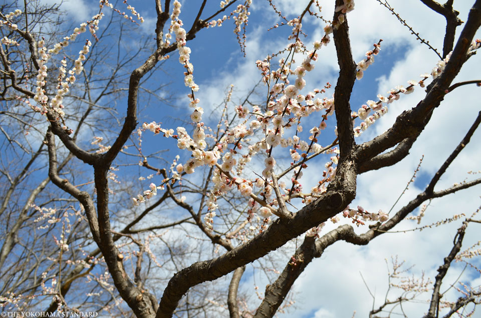 2016根岸森林公園の梅6-THE YOKOHAMA STANDARD