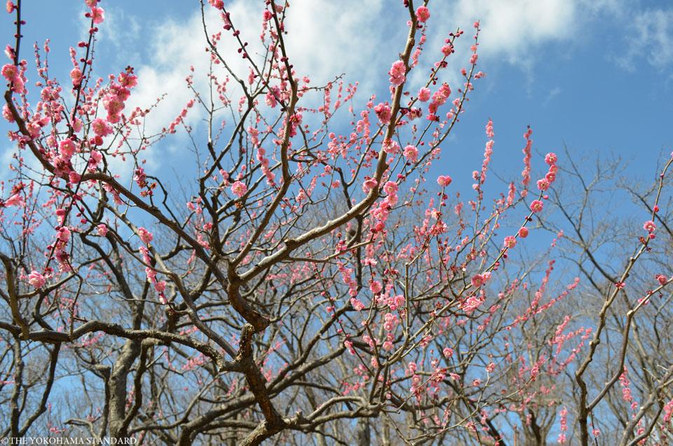 2016根岸森林公園の梅11-THE YOKOHAMA STANDARD