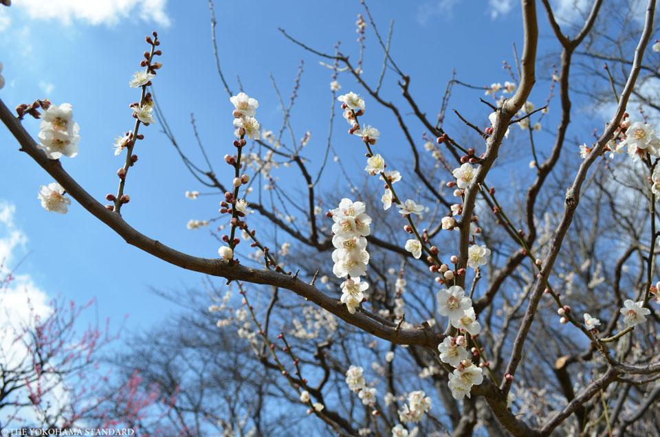 2016根岸森林公園の梅5-THE YOKOHAMA STANDARD