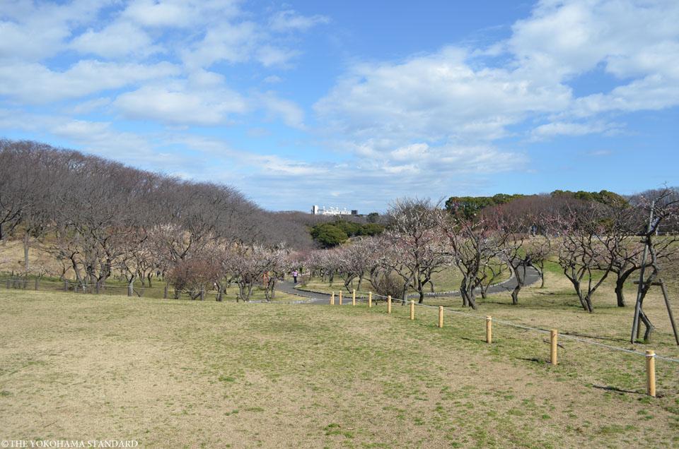 2016根岸森林公園の梅10-THE YOKOHAMA STANDARD