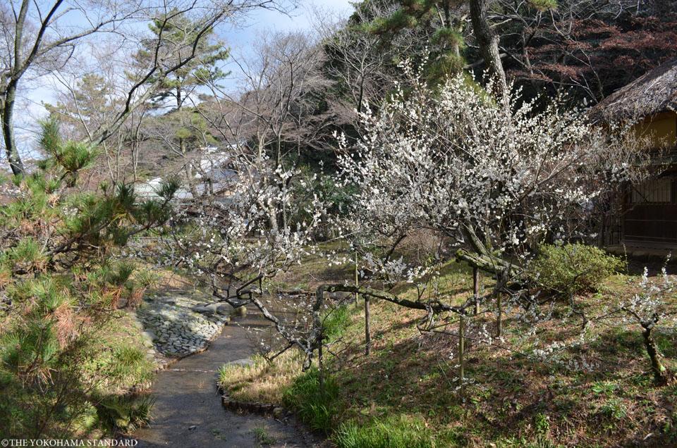 2016三溪園の梅8-THE YOKOHAMA STANDARD