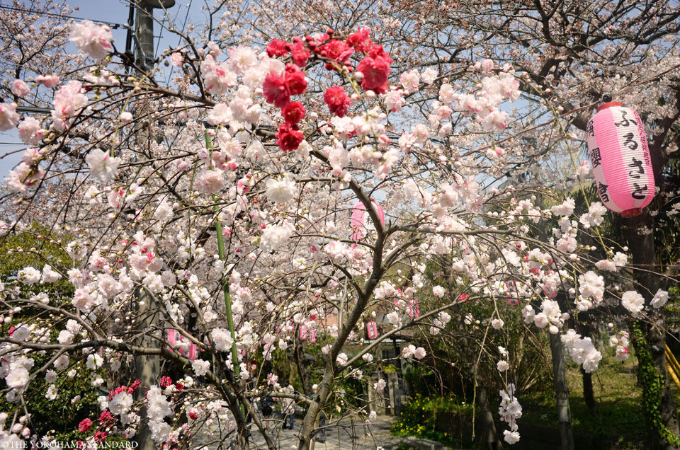 2016称名寺の桜4-THE YOKOHAMA STANDARD