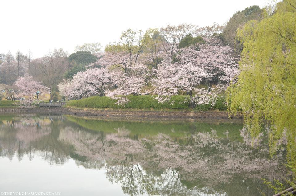 2016三ツ池公園の桜8-THE YOKOHAMA STANDARD