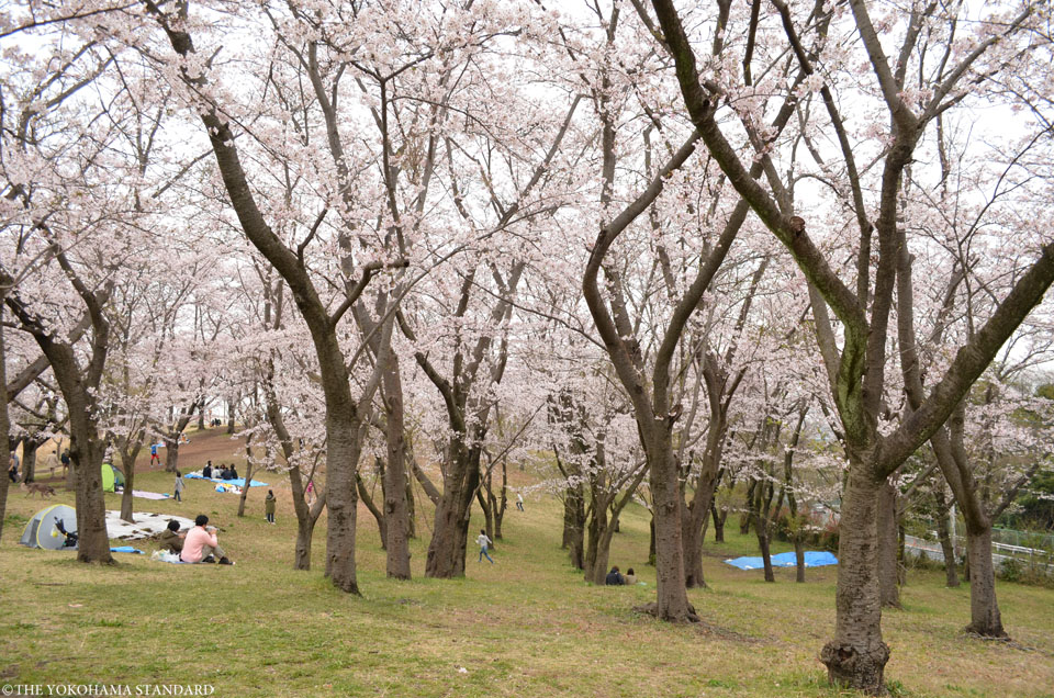 2016大池公園の桜4-THE YOKOHAMA STANDARD