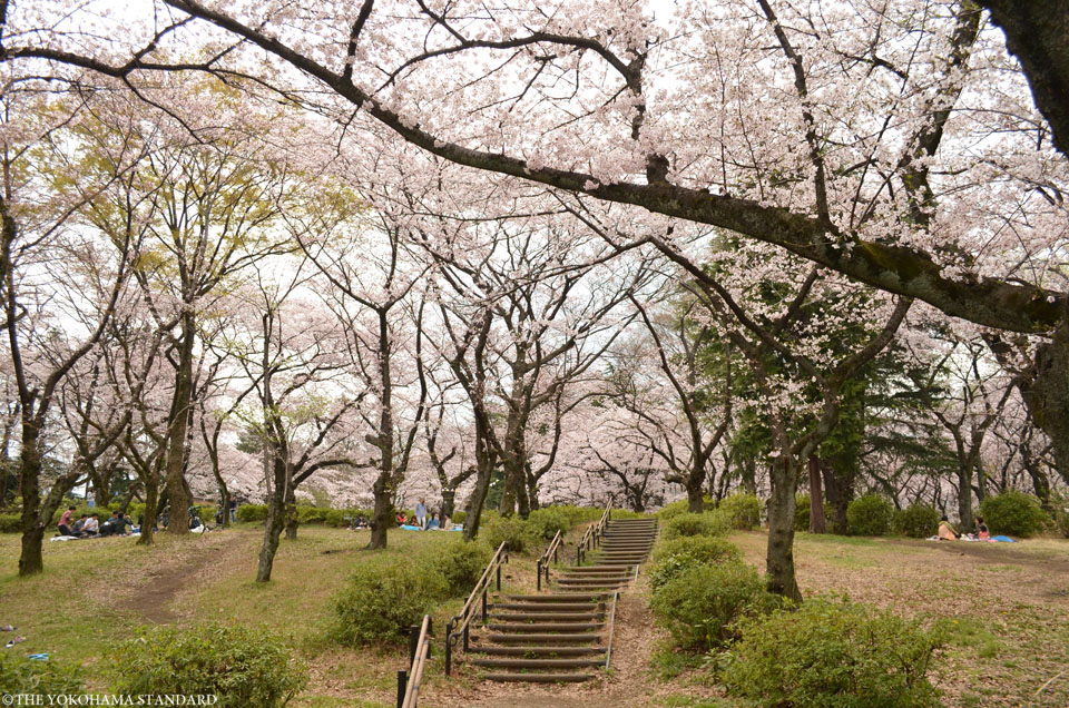 2016三ツ沢公園の桜3-THE YOKOHAMA STANDARD
