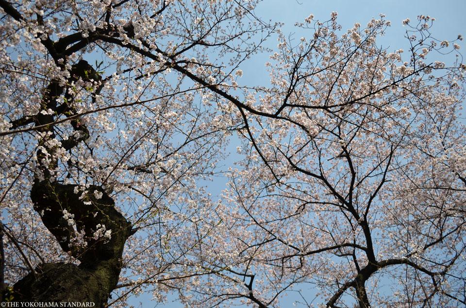 2016掃部山公園の桜5-THE YOKOHAMA STANDARD
