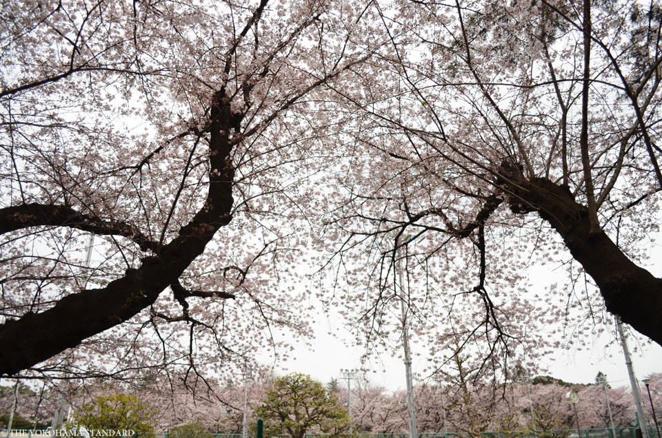 2016三ツ沢公園の桜2-THE YOKOHAMA STANDARD