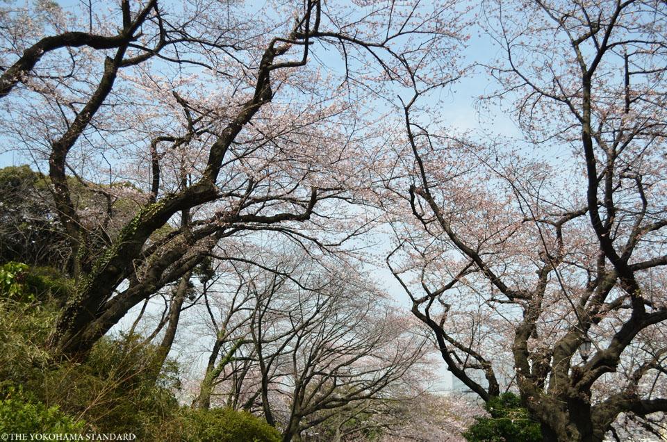 2016掃部山公園の桜2-THE YOKOHAMA STANDARD