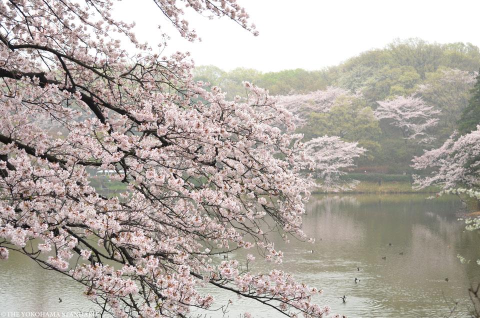 2016三ツ池公園の桜3-THE YOKOHAMA STANDARD