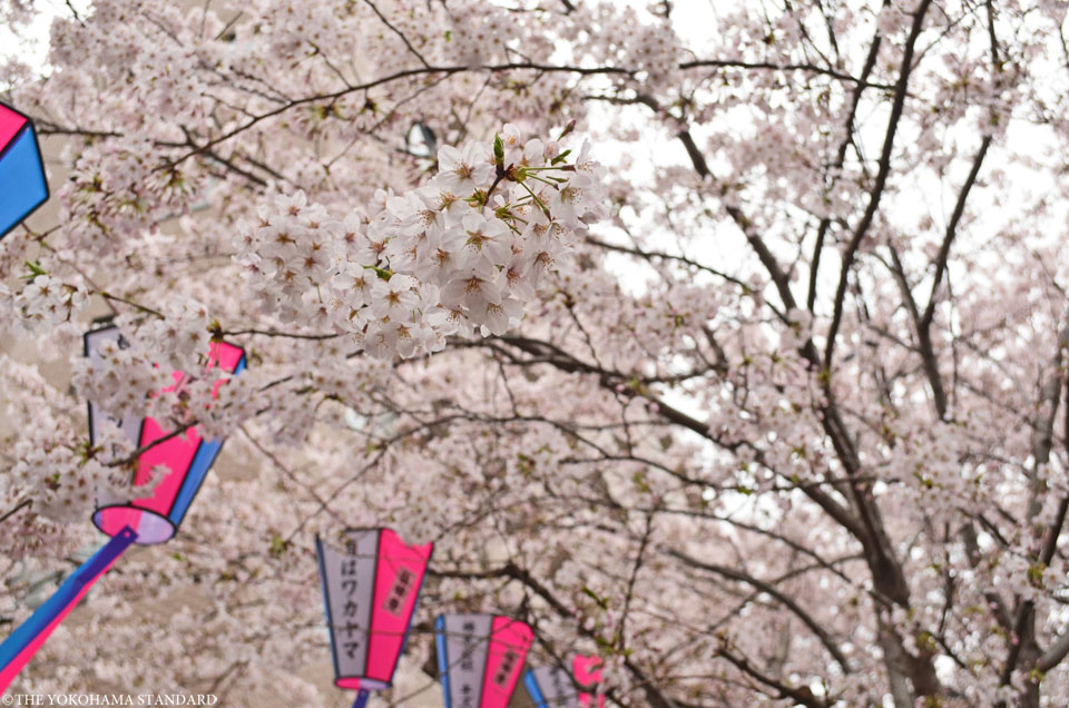 2016大岡川の桜2-THE YOKOHAMA STANDARD