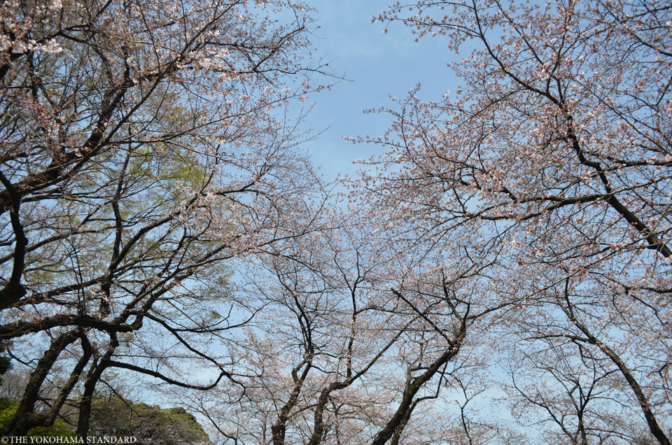 2016掃部山公園の桜1-THE YOKOHAMA STANDARD