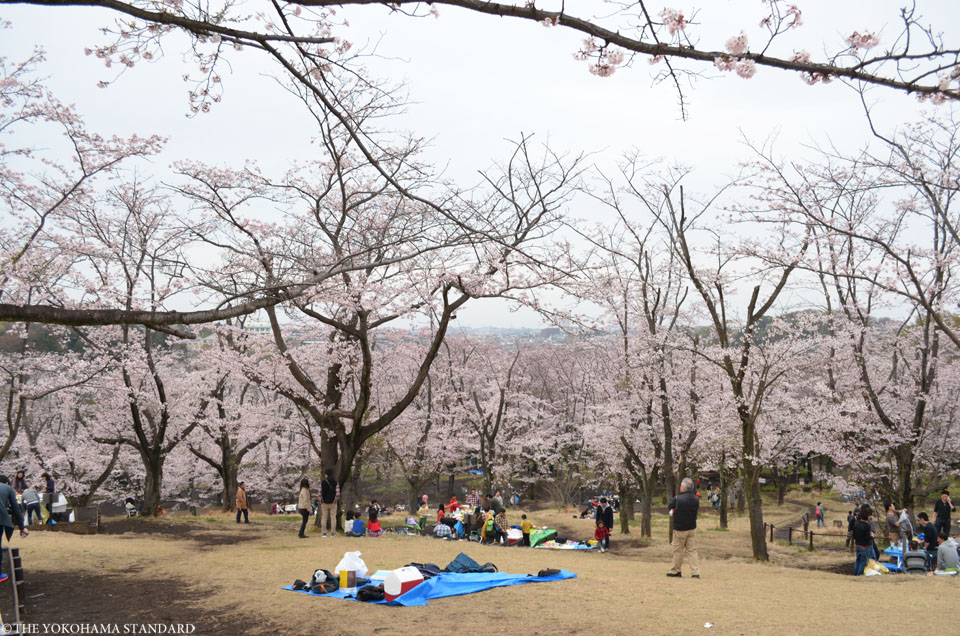 2016大池公園の桜9-THE YOKOHAMA STANDARD