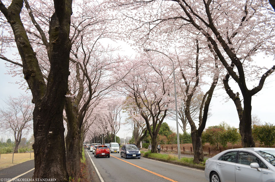 2016海軍道路の桜1-THE YOKOHAMA STANDARD