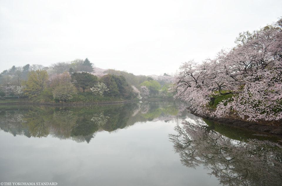 2016三ツ池公園の桜2-THE YOKOHAMA STANDARD