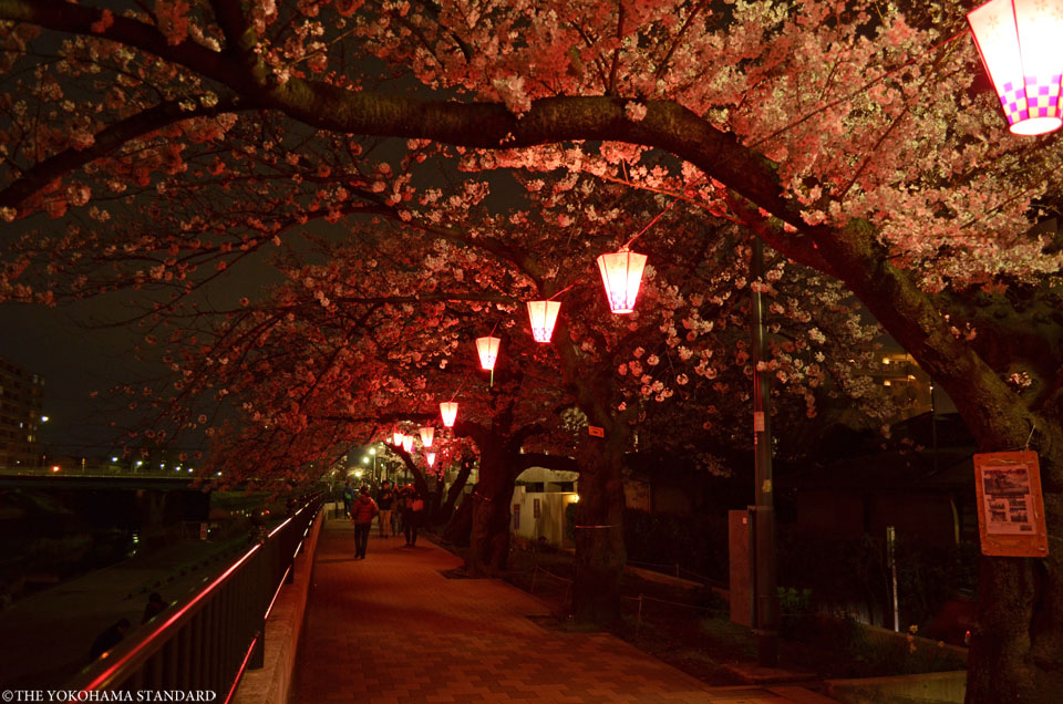 2016柏尾川の桜4-THE YOKOHAMA STANDARD