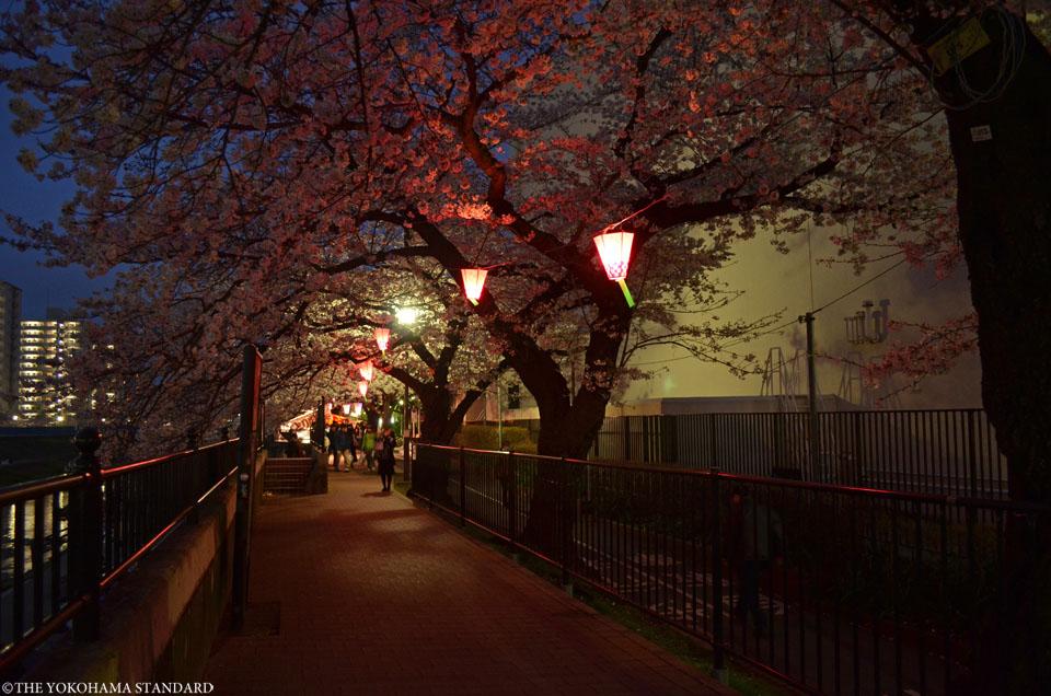 2016柏尾川の桜1-THE YOKOHAMA STANDARD
