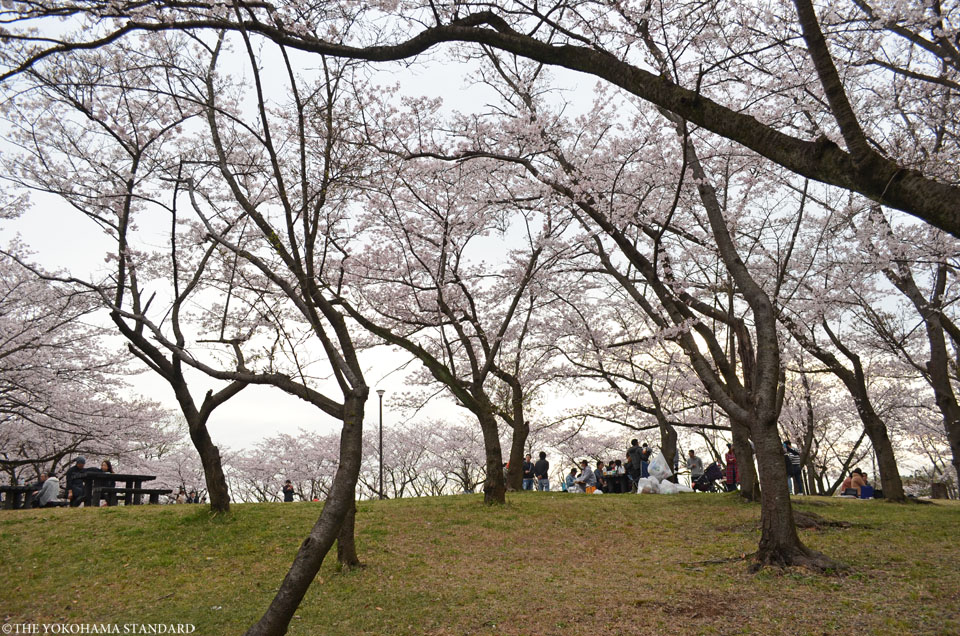 2016大池公園の桜6-THE YOKOHAMA STANDARD