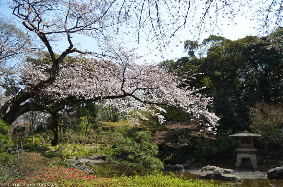 2016掃部山公園の桜3-THE YOKOHAMA STANDARD