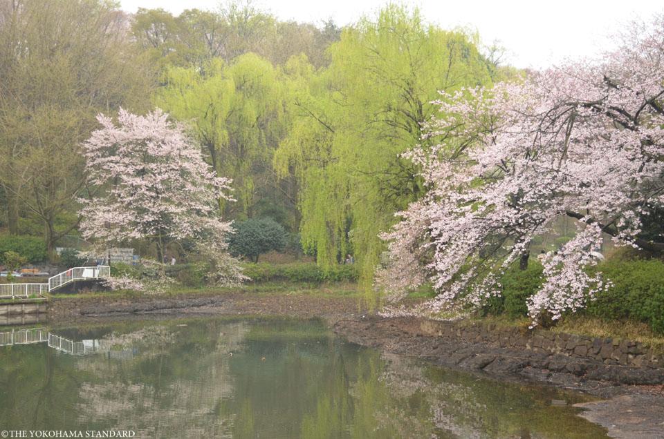 2016三ツ池公園の桜5-THE YOKOHAMA STANDARD