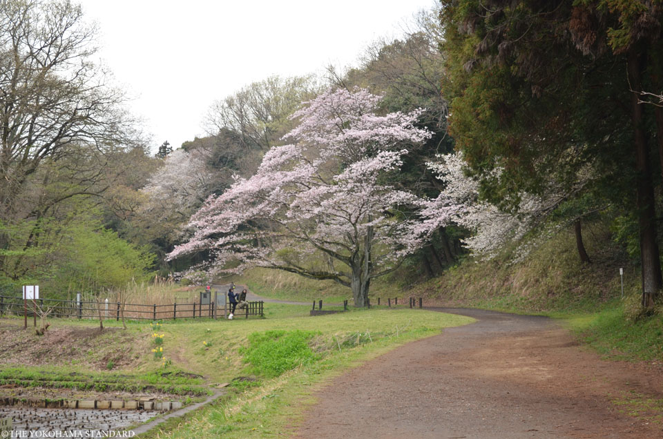 2016大池公園の桜8-THE YOKOHAMA STANDARD