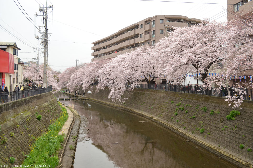2016大岡川の桜1-THE YOKOHAMA STANDARD