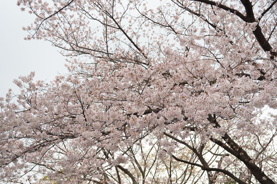 2016三ツ沢公園の桜8-THE YOKOHAMA STANDARD