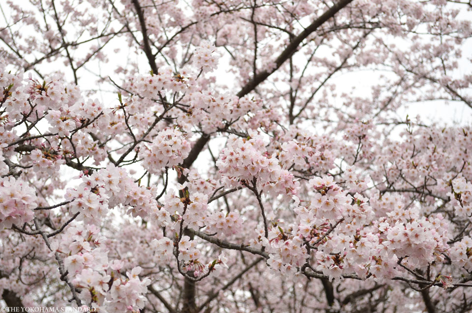 2016大池公園の桜3-THE YOKOHAMA STANDARD
