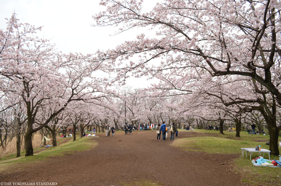 2016大池公園の桜2-THE YOKOHAMA STANDARD