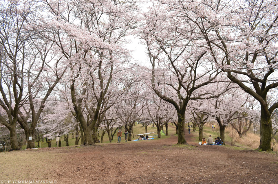 2016大池公園の桜5-THE YOKOHAMA STANDARD