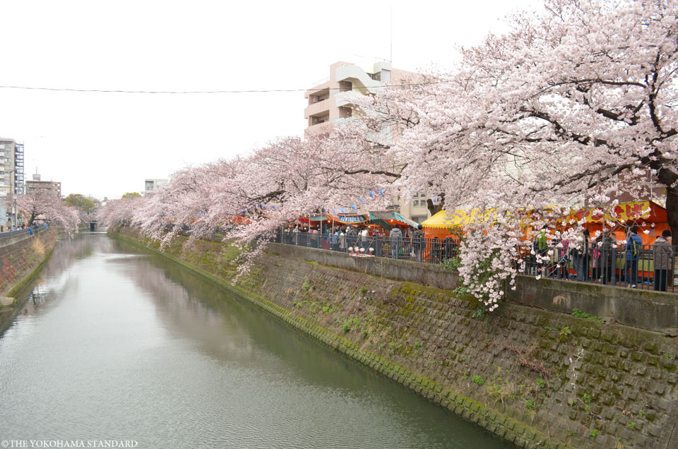 2016大岡川の桜7-THE YOKOHAMA STANDARD