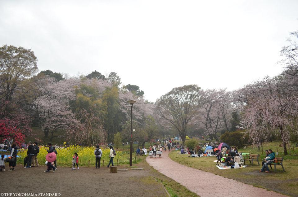 2016三ツ池公園の桜7-THE YOKOHAMA STANDARD